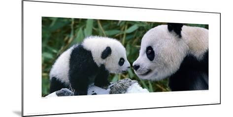 Panda Bear With Cub-Steve Bloom-Mounted Giclee Print