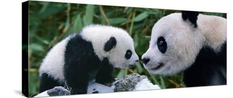 Panda Bear With Cub-Steve Bloom-Stretched Canvas Print