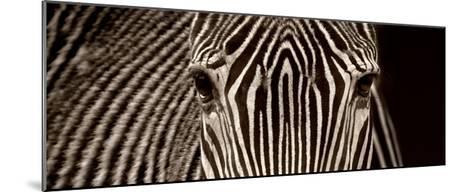 Zebra Grevy-Marina Cano-Mounted Giclee Print