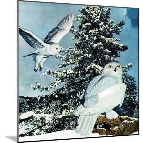 """Snowy Owls"", September 14, 1957-D. Bleitz-Mounted Giclee Print"