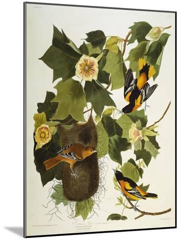 Baltimore Oriole. Northern Oriole (Icterus Galula), from 'The Birds of America'-John James Audubon-Mounted Giclee Print