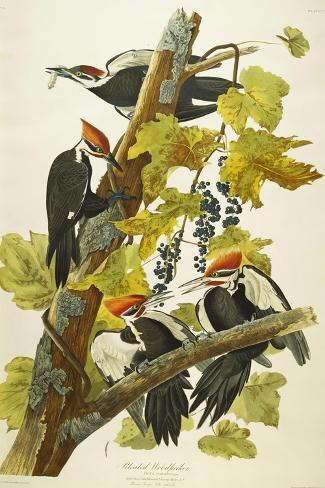 Pileated Woodpecker (Dryocopus Pileatus), Plate Cxi, from 'The Birds of America'-John James Audubon-Stretched Canvas Print