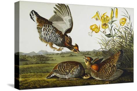 Pinnated Grouse. Greater Prairie Chicken (Tympanuchus Cupido), from 'The Birds of America'-John James Audubon-Stretched Canvas Print