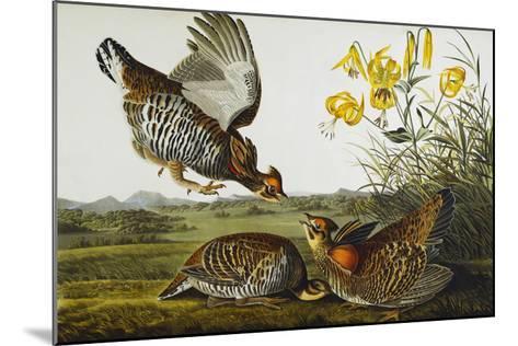 Pinnated Grouse. Greater Prairie Chicken (Tympanuchus Cupido), from 'The Birds of America'-John James Audubon-Mounted Giclee Print