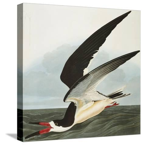 Black Skimmer or Shearwater. Black Skimmer (Rynchops Niger), from 'The Birds of America'-John James Audubon-Stretched Canvas Print