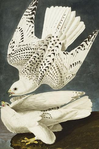 Iceland or Jer Falcon. Gyrfalcon (Falco Rustiocolis), from 'The Birds of America'-John James Audubon-Stretched Canvas Print