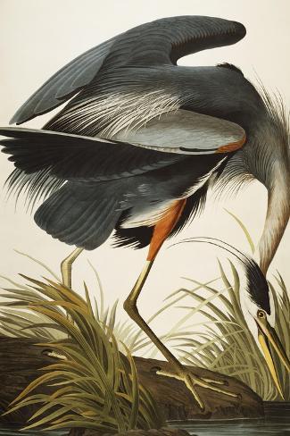 Great Blue Heron (Ardea Herodias), Plate Ccxi, from 'The Birds of America'-John James Audubon-Stretched Canvas Print