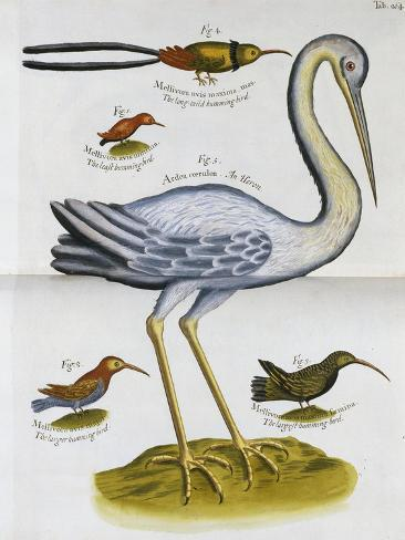 Heron and Humming Birds, from 'A Voyage to the Islands of Madera, Barbados, Nieves, S Christophers…-Sir Hans Sloane-Stretched Canvas Print