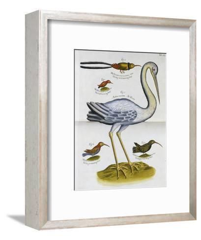 Heron and Humming Birds, from 'A Voyage to the Islands of Madera, Barbados, Nieves, S Christophers…-Sir Hans Sloane-Framed Art Print