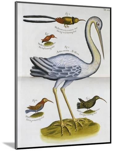 Heron and Humming Birds, from 'A Voyage to the Islands of Madera, Barbados, Nieves, S Christophers…-Sir Hans Sloane-Mounted Giclee Print
