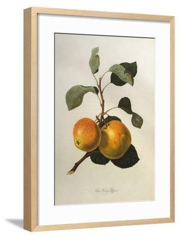 The Kerry Pippin, from 'Pomona Londinensis'-William Hooker-Framed Art Print