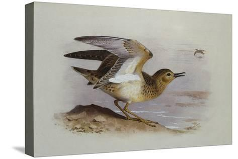 A Buff-Breasted Sandpiper-Archibald Thorburn-Stretched Canvas Print