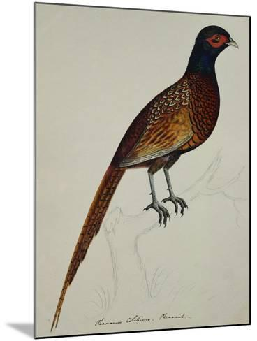 A Pheasant (Phasianus Colchicus)-Christopher Atkinson-Mounted Giclee Print
