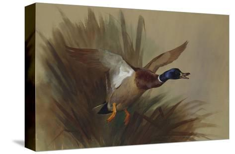 A Mallard Rising from Reeds-Archibald Thorburn-Stretched Canvas Print