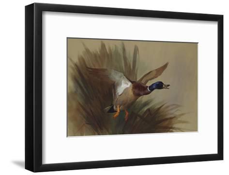 A Mallard Rising from Reeds-Archibald Thorburn-Framed Art Print