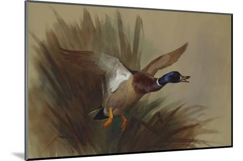 A Mallard Rising from Reeds-Archibald Thorburn-Mounted Giclee Print