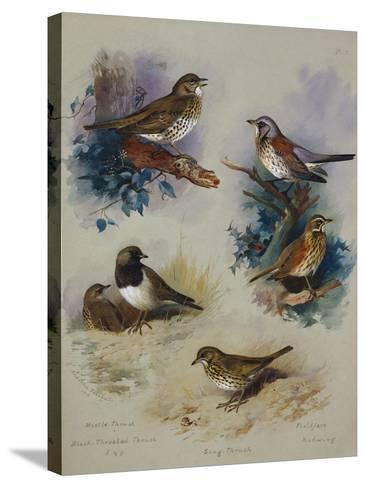 Thrushes-Archibald Thorburn-Stretched Canvas Print