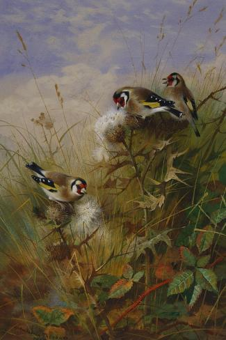 Goldfinches on Thistles-Archibald Thorburn-Stretched Canvas Print