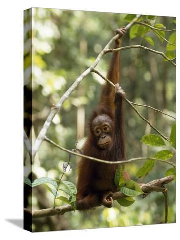A Juvenile Oranutan, Pongo Pygmaeus, Hangs from a Tree Branch-Tim Laman-Stretched Canvas Print