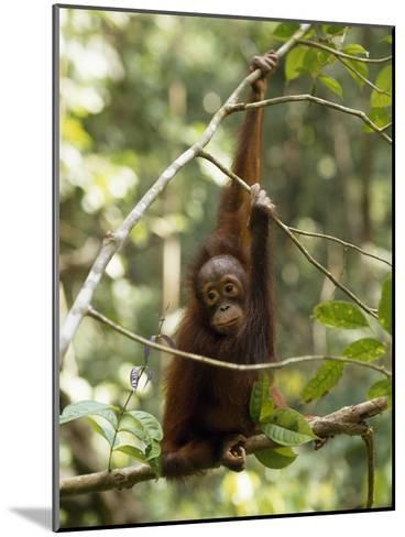 A Juvenile Oranutan, Pongo Pygmaeus, Hangs from a Tree Branch-Tim Laman-Mounted Photographic Print