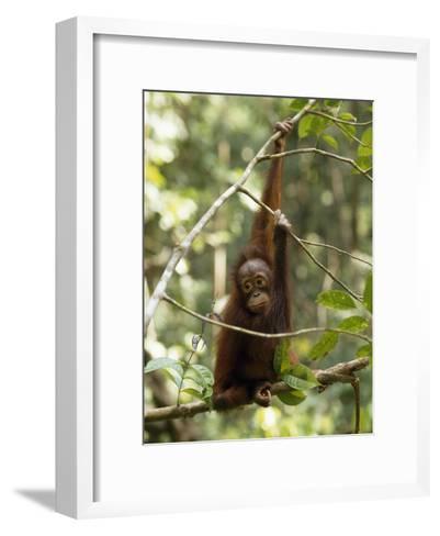A Juvenile Oranutan, Pongo Pygmaeus, Hangs from a Tree Branch-Tim Laman-Framed Art Print
