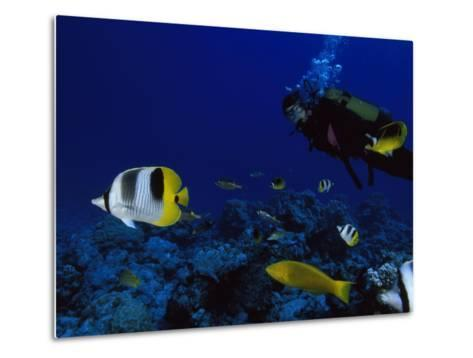 A Diver Swims with Butterfly Fish and Other Fish-Tim Laman-Metal Print