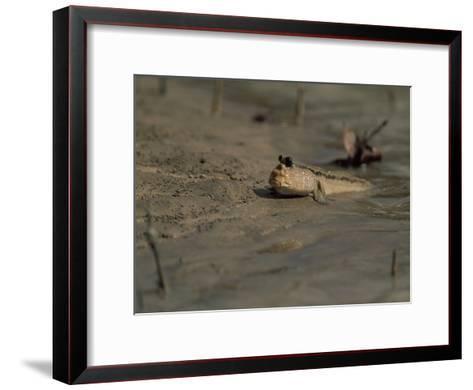 A Mudskipper Fish on a Tidal Flat-Tim Laman-Framed Art Print