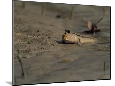 A Mudskipper Fish on a Tidal Flat-Tim Laman-Mounted Photographic Print