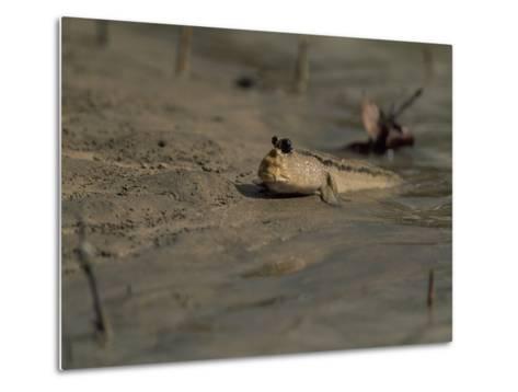 A Mudskipper Fish on a Tidal Flat-Tim Laman-Metal Print