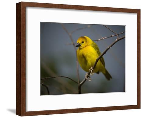 A Taveta Golden Weaver, Ploceus Castaneiceps, at the San Antonio Zoo-Joel Sartore-Framed Art Print