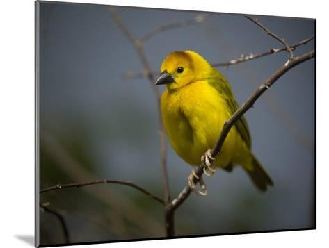 A Taveta Golden Weaver, Ploceus Castaneiceps, at the San Antonio Zoo-Joel Sartore-Mounted Photographic Print