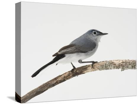 A Blue-Gray Gnatcatcher, Polioptila Caerulea, on a Branch-Joel Sartore-Stretched Canvas Print