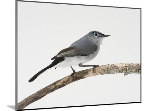 A Blue-Gray Gnatcatcher, Polioptila Caerulea, on a Branch-Joel Sartore-Mounted Photographic Print