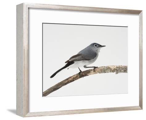 A Blue-Gray Gnatcatcher, Polioptila Caerulea, on a Branch-Joel Sartore-Framed Art Print