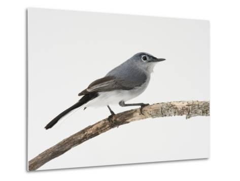 A Blue-Gray Gnatcatcher, Polioptila Caerulea, on a Branch-Joel Sartore-Metal Print
