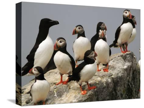 A Razorbill, Alca Torda, Sits Among a Group of Atlantic Puffins-Darlyne A^ Murawski-Stretched Canvas Print