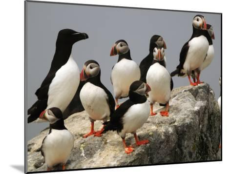 A Razorbill, Alca Torda, Sits Among a Group of Atlantic Puffins-Darlyne A^ Murawski-Mounted Photographic Print