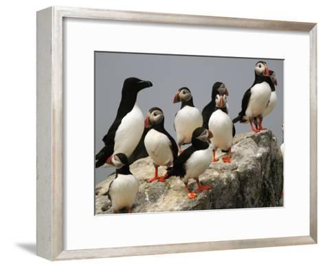 A Razorbill, Alca Torda, Sits Among a Group of Atlantic Puffins-Darlyne A^ Murawski-Framed Art Print