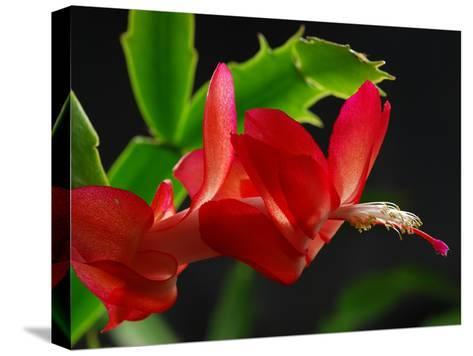 Close Up of a Christmas Cactus, Schlumbergera Truncatus, in Bloom-Darlyne A^ Murawski-Stretched Canvas Print