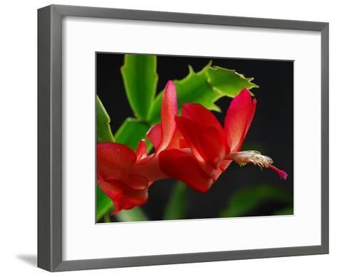 Close Up of a Christmas Cactus, Schlumbergera Truncatus, in Bloom-Darlyne A^ Murawski-Framed Art Print