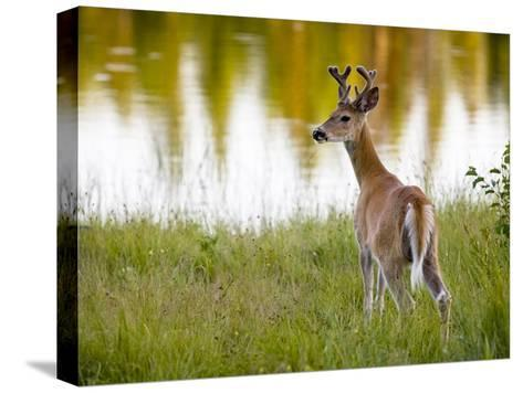 Male White-Tailed Deer Looking over His Shoulder-Roy Toft-Stretched Canvas Print