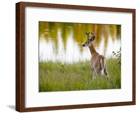 Male White-Tailed Deer Looking over His Shoulder-Roy Toft-Framed Art Print