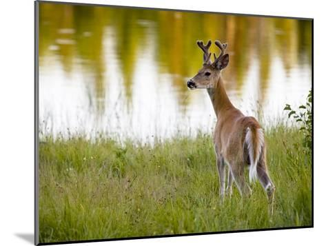 Male White-Tailed Deer Looking over His Shoulder-Roy Toft-Mounted Photographic Print