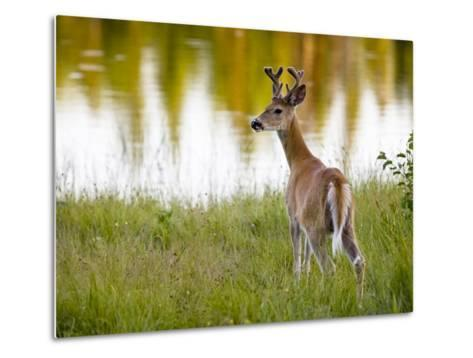 Male White-Tailed Deer Looking over His Shoulder-Roy Toft-Metal Print