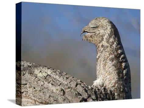 Portrait of a Great Potoo, Nyctibius Grandis-Roy Toft-Stretched Canvas Print