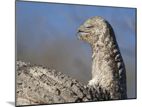 Portrait of a Great Potoo, Nyctibius Grandis-Roy Toft-Mounted Photographic Print