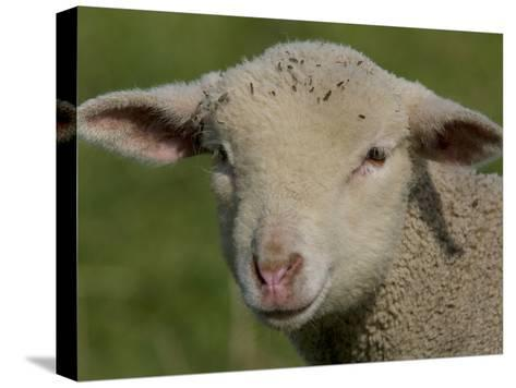 Portrait of a Lamb a Couple of Days Old-Joe Petersburger-Stretched Canvas Print