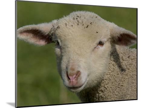 Portrait of a Lamb a Couple of Days Old-Joe Petersburger-Mounted Photographic Print
