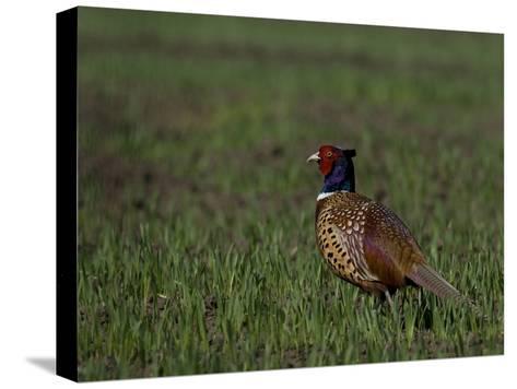 Portrait of a Male Pheasant, Phasianus Colchicus-Joe Petersburger-Stretched Canvas Print
