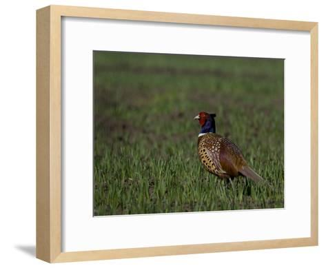 Portrait of a Male Pheasant, Phasianus Colchicus-Joe Petersburger-Framed Art Print